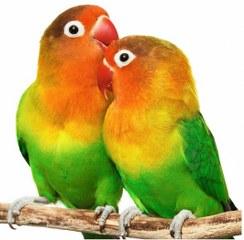 15697-PET-SHOPS-AIAS-PET-SHOP---KATOIKIDIA-ZOA---ODIKA-PTINA---PSARIA--ENYDREIA-SALAMINA-lovebirds_244x240